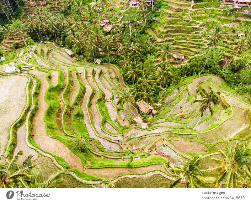 Drohnenansicht der Tegalalang Reisterrasse in Bali, Indonesien, mit Palmen und Wegen für Touristen, die um die Plantagen herumgehen Terrasse Ansicht Antenne