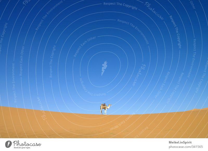 Das Kamel. blau Einsamkeit Tier gelb Wärme Sand braun Klima Abenteuer Warmherzigkeit Wüste heiß Mitte Düne Gleichgewicht Fernweh