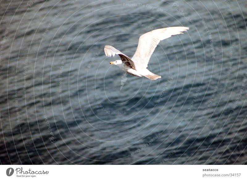Möwe im Flug Wasser Meer blau Luft Vogel fliegen