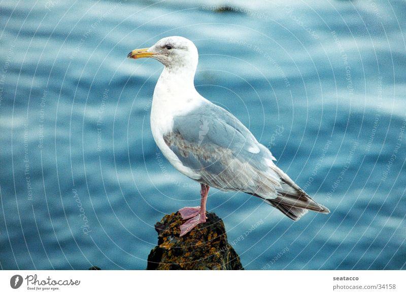 Möwe Wasser Meer blau Felsen Vogel