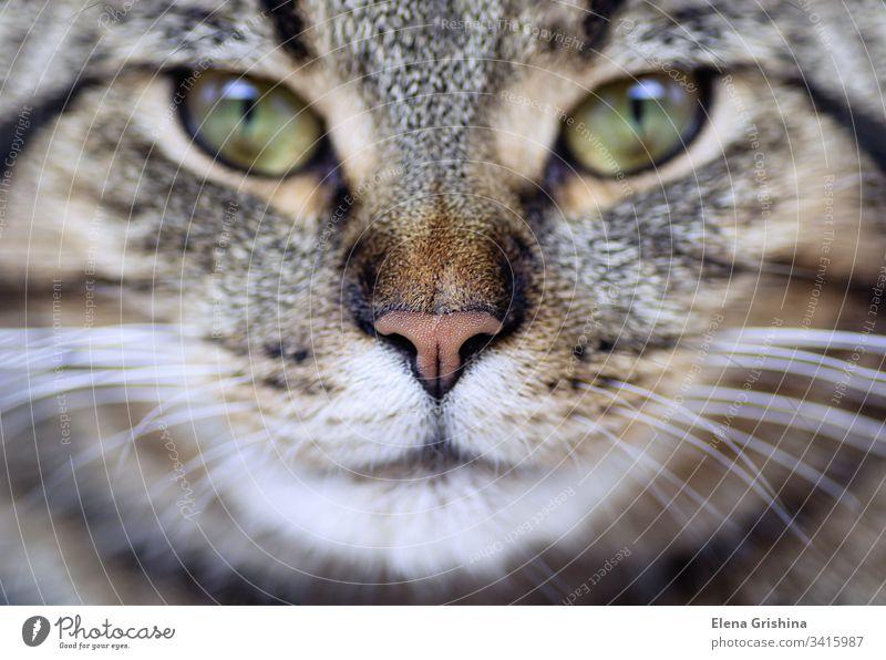 Katzengesicht in Nahaufnahme. Porträt einer jungen Tabby-Katze, Makroaufnahme. Selektiver Fokus. Nahaufnahme. Maul Gesicht Schnurrhaar Detailaufnahme Schnauze