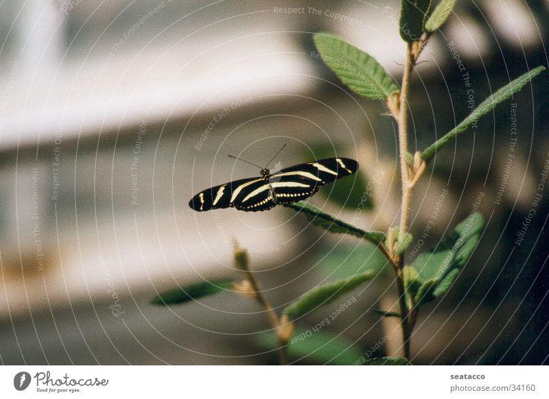Schmetterling01 grün Insekt Tier Zweig Flügel