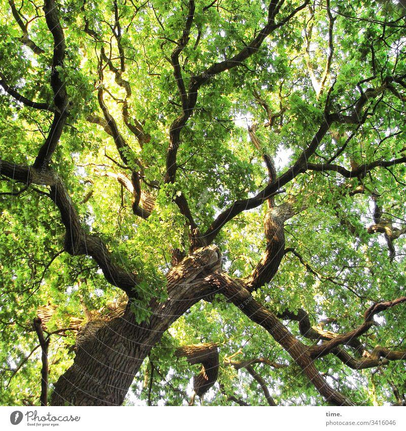 Klimawandel | vorwärts zurück zum Ursprünglichen baum eiche baumkrone äste ast blätter grün wachstum hoch frisch ehrwürdig natur klima klimawandel co2 luftig