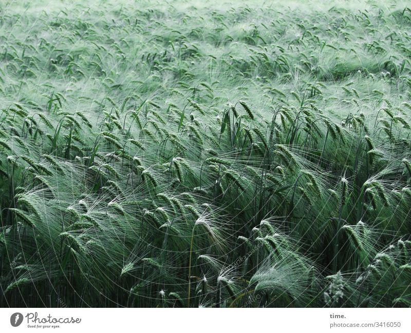 Community blüte elegant nostalgie draußen getreide geheimnisvoll gemeinsam acker landwirtschaft grün erntezeit ernährung nahrungsmittel getreidefeld wachsen