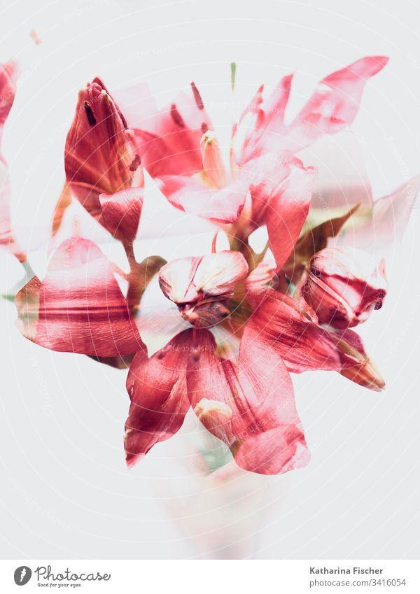 Red Flowers Art Doppelbelichtung Blume Lilien Farbfoto Blüte Natur Sommer Frühling Blumenstrauß rot Experiment weiß Herbst Kunst Blumen Nahaufnahme