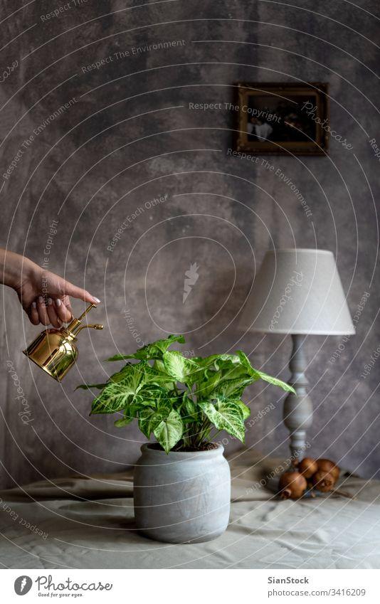 Frau besprüht Syngoniumanlage in ihrem Haus im Inneren Trend Blume dekorieren dacoration heimwärts Gänsefuß podophyllum Blatt Natur grün im Innenbereich Pflanze