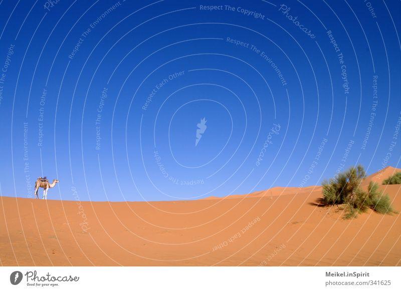 Wüstenschiff Natur Landschaft Sand Luft Himmel Schönes Wetter Wärme Dürre Sträucher Sahara Düne Kamel 1 Tier Einsamkeit Ferien & Urlaub & Reisen