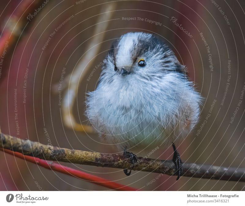 Aufgeplusterte Schwanzmeise Aegithalos caudatus Meisen Vogel Tiergesicht Flügel Krallen Kopf Feder Auge Schnabel Zweige u. Äste Wildtier Baum Sträucher