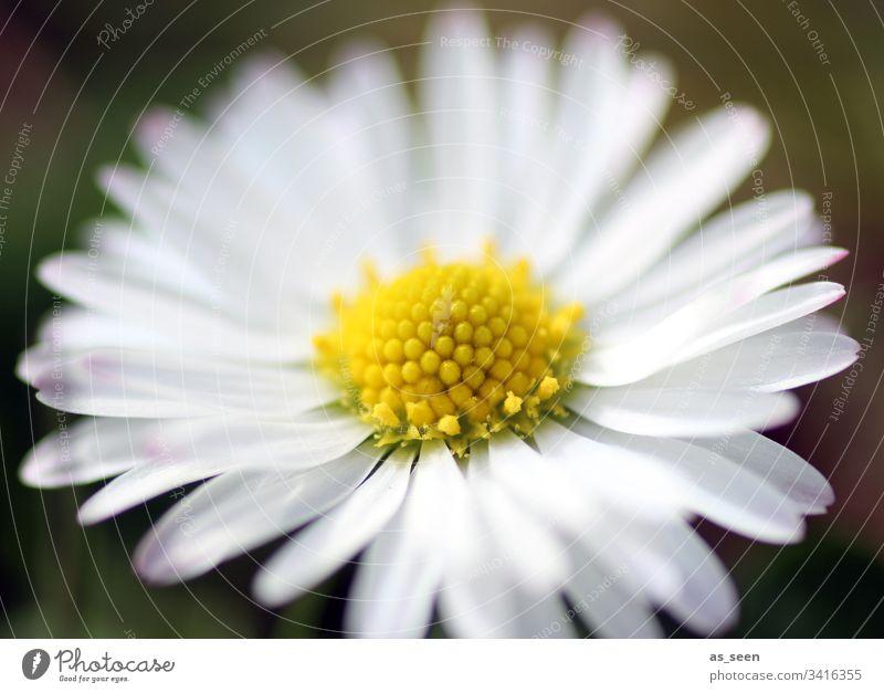 Gänseblümchen Blüte Blume Nahaufnahme Pflanze Frühling Detailaufnahme Natur Farbfoto Blütenblatt Schwache Tiefenschärfe Menschenleer Blühend Tag Unschärfe