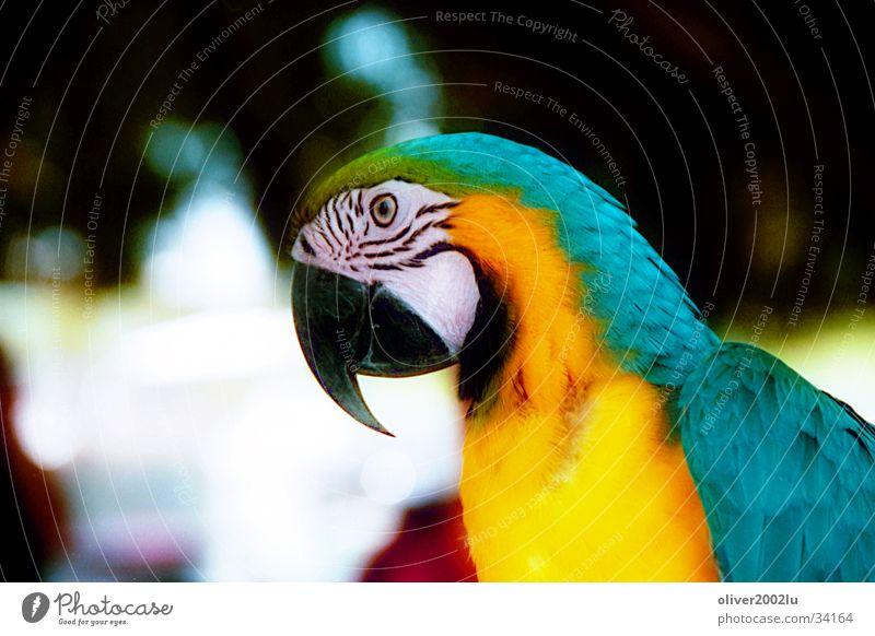 Papagei... Tier Papageienvogel Vogel