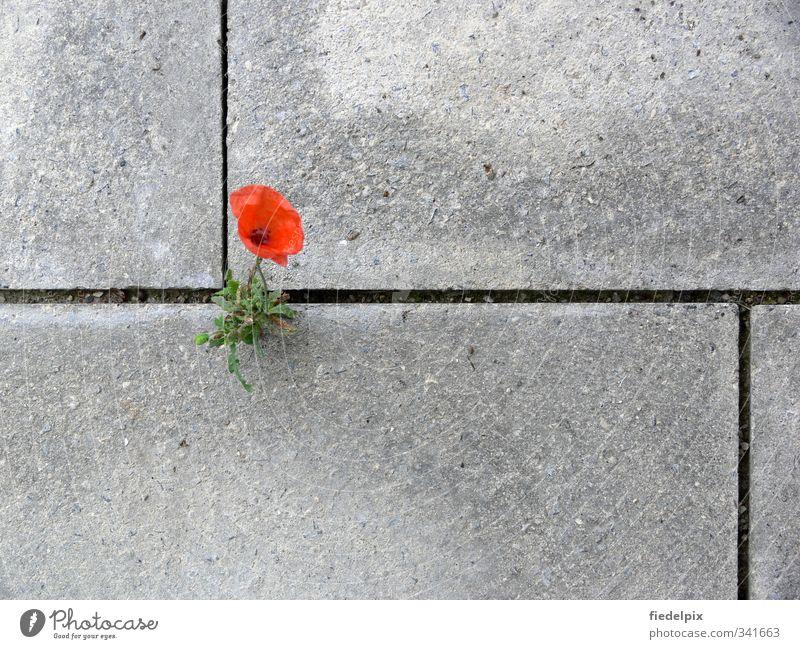 Kämpfernatur Pflanze rot Einsamkeit Blume Umwelt Blüte Kraft Wachstum Beton Blühend stark Mohn kämpfen Willensstärke Furche Umweltverschmutzung