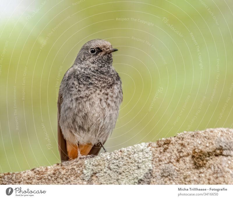 Hausrotschwanz auf der Mauer Rotschwanz Phoenicurus ochruros Vogel Wildvogel Singvogel Kopf Schnabel Auge Flügel Federn Gefieder Beine Krallen Stein Sonne