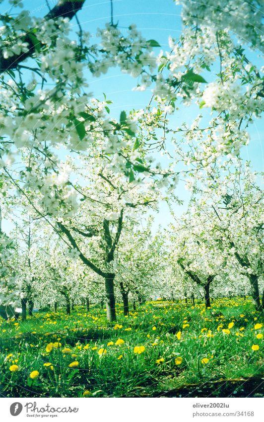 Sakura in Werder... Baum Kirschblüten Wiese Werder Havel Himmel