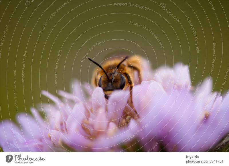 Wildbiene Natur Pflanze Tier Frühling Sommer Blume Blüte Wildpflanze Scabiosa Wiese Biene Tiergesicht 1 Arbeit & Erwerbstätigkeit berühren Blühend Duft