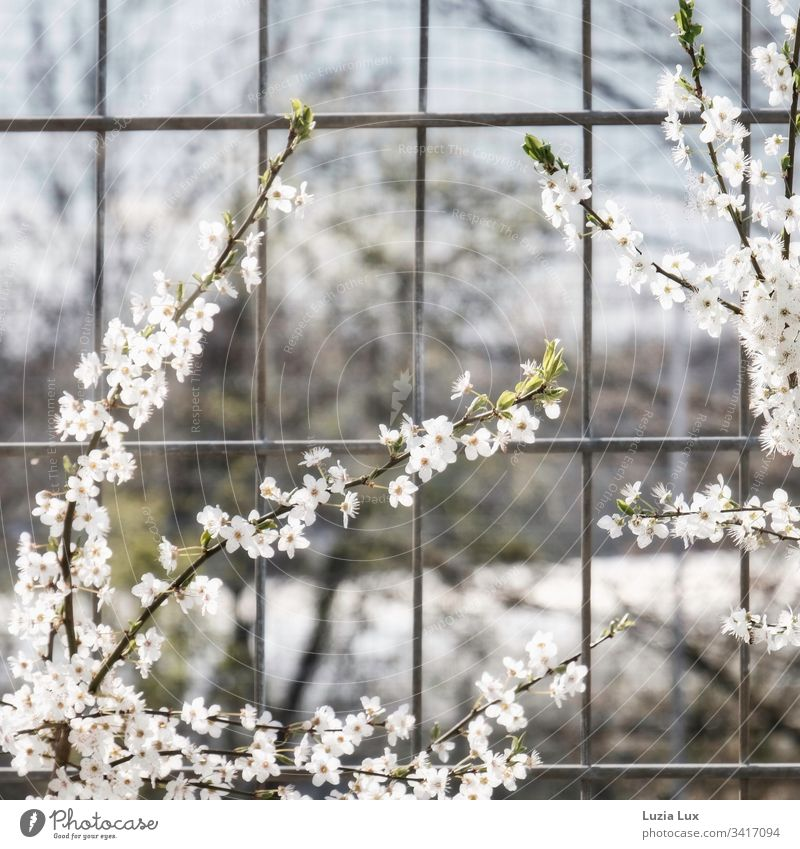 Frühlingsblüten, Großstadtflair Stadt Zaun Gitter Blüten Sonnenschein urban trist zart schön hell weiss