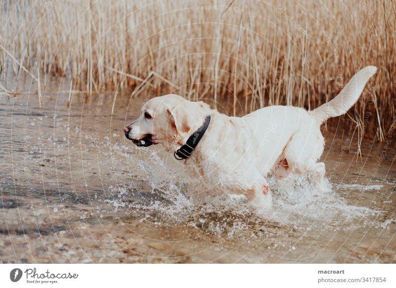 Wasserratte Hund Labrador Retriever Hunderasse wasserhund Apportierhund Gewässer blond See nass spritzen senior alt alter Hund Außenaufnahme Haustier