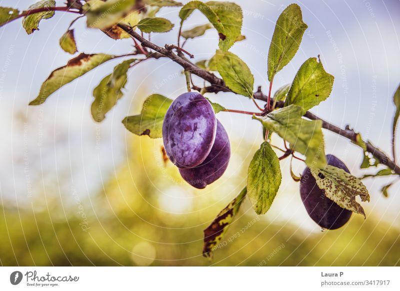 Nahaufnahme von reifen Pflaumen im Sommer süß saftig purpur Baum Pflaumenbaum Frucht Früchte essen Lebensmittel Gesundheit Ackerbau natürlich Landschaft