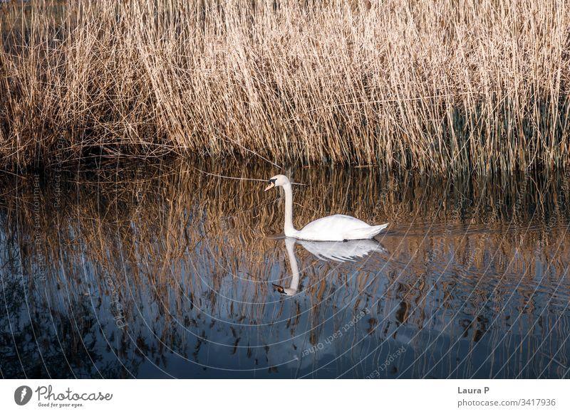 Wunderschöner Schwan, der auf einem See schwimmt Feder Umwelt Erholung Flügel erstaunlich Single romantisch lieblich Leben Gelassenheit ruhige Umgebung Reinheit