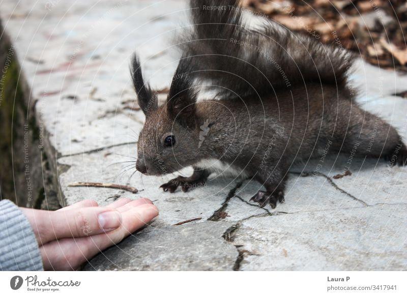Freundliches Eichhörnchen in Handnähe Spaß Nahaufnahme schön Glück Finger im Freien Freundschaft dressieren menschlich Frau Mädchen Wald klein Nagetiere essen