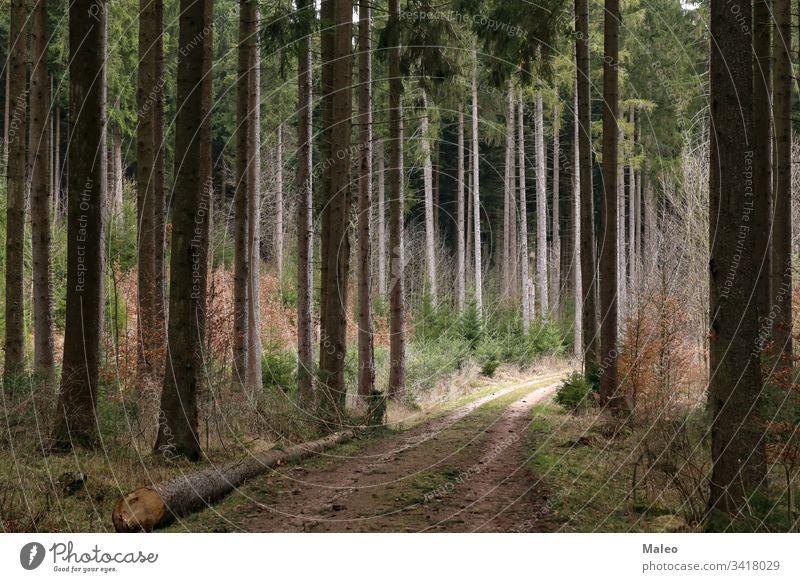 Wald mit hohen Tannenbäumen und Waldweg Landschaft Natur Sommer Umwelt Park malerisch Hintergrund schön dunkel Tourismus reisen grün im Freien Straße Saison