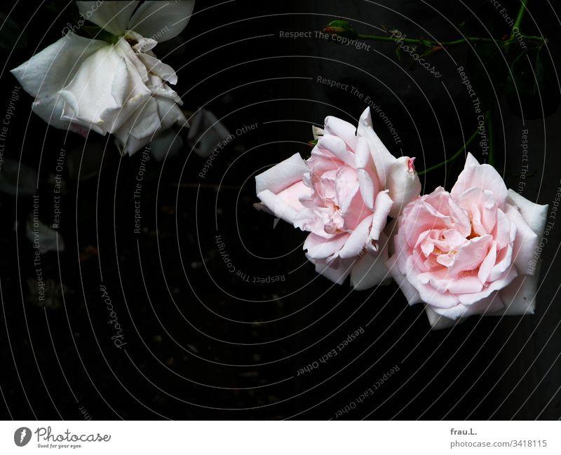 Neben den rosaroten fand sich die weiße Rose gar nicht schön und ließ traurig den Kopf hängen. Blume Blüte Menschenleer Natur Außenaufnahme Pflanze Kletterrose