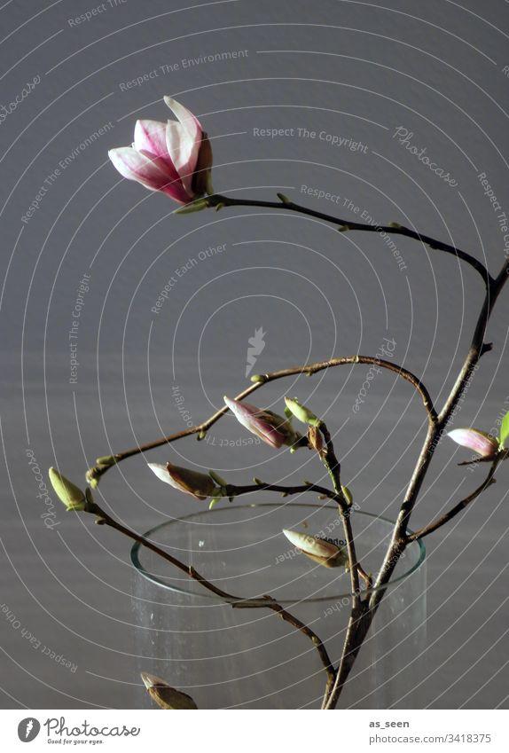 Magnolienzweig in der Vase Zweig Licht Kontrast Silhouette Blüte Frühling Pflanze Farbfoto Menschenleer Natur Blühend Tag schön rosa weiß Frühlingsgefühle