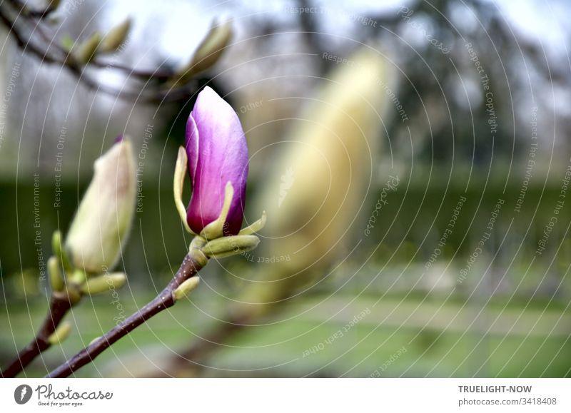 Einzelne erste violett-weiße Magnolien Blüte vor Gartenlandschaft dringt kraftvoll ans Licht Magnolienblüte Magnolienknospe Frühling Natur Pflanze Außenaufnahme