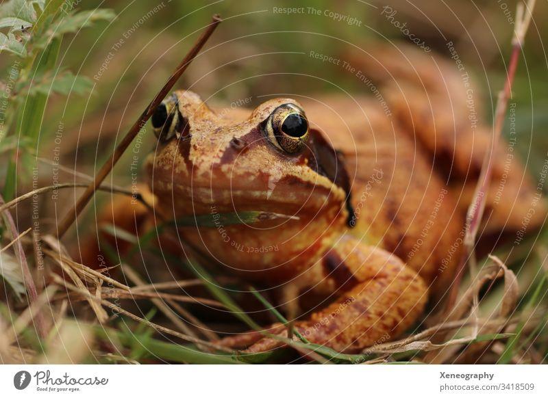 Makroaufnahme eines braunen Froschs #Frosch Auge #Kröte #Wald Gras Tier #Schleim #Frühling #Quak #Quäker Schön Krass Warzen Offenblende Natur Naturfoto