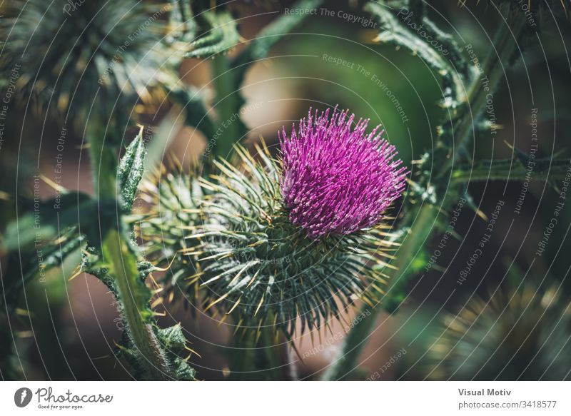 Violette Blume einer Distel in einem städtischen Garten Stachelige Kratzdistel Blütezeit botanisch Botanik Flora geblümt blumig organisch natürlich Natur Park