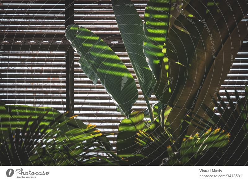 Grüne Blätter von tropischen Pflanzen, die in einem Lattenhaus wachsen Natur natürlich Blatt Park Garten botanisch Botanik grün Flora Vegetation Laubwerk