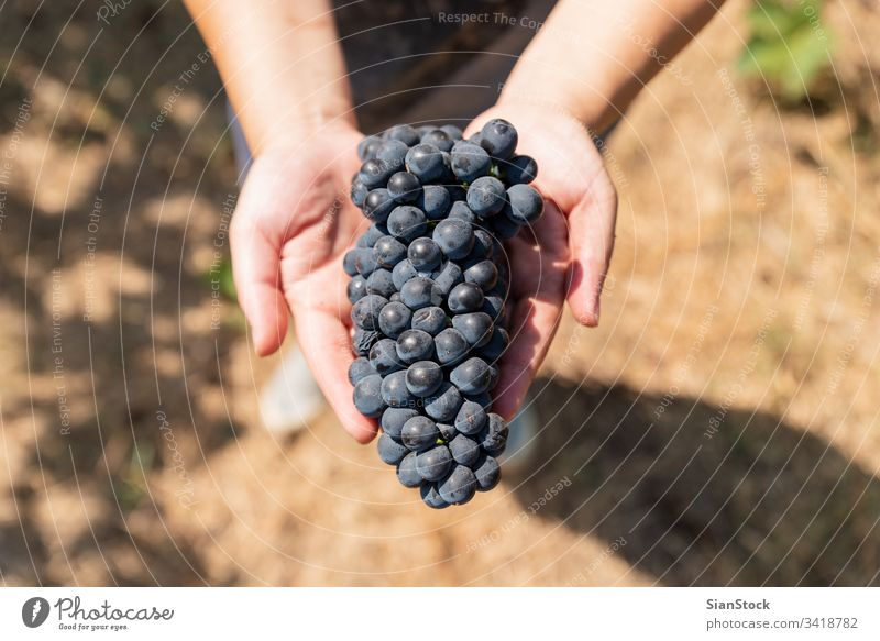 Die Weinlese. Frauenhände mit frisch geernteten Trauben. Ernte Weinberg Weingut Ernten organisch Lebensmittel Hand Haufen Frucht Natur Ackerbau blau Beteiligung