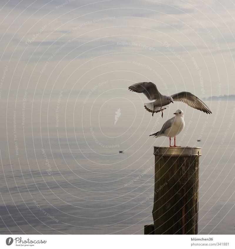 Immer locker bleiben, egal was passiert Wasser See Bodensee Gewässer Tier Wildtier Vogel Tiergesicht Flügel Möwe Möwenvögel 2 Bewegung fliegen Blick stehen