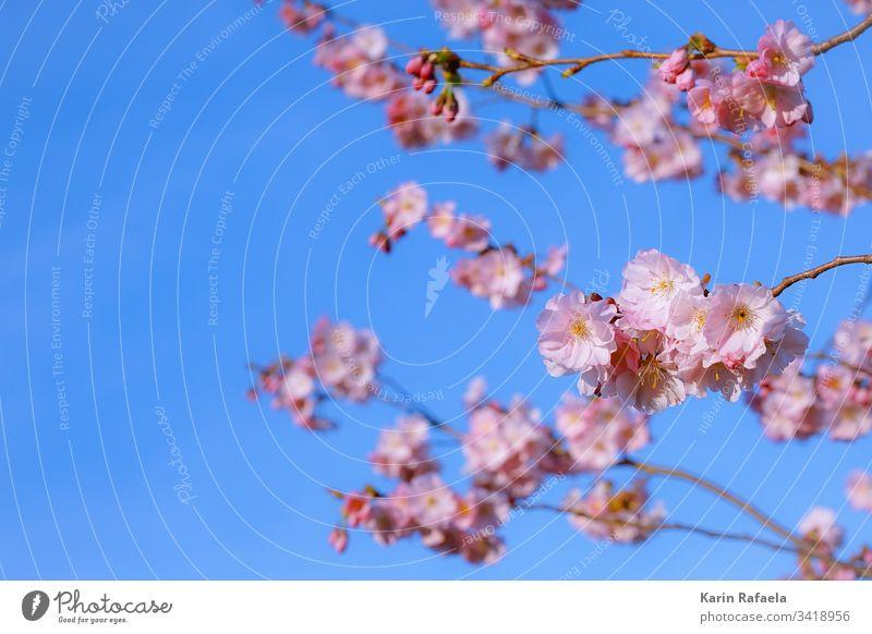 Kirschblüte Kirschblüten Frühling Blüte Farbfoto Kirschbaum Baum rosa Natur Blühend Pflanze Frühlingsgefühle Menschenleer Nahaufnahme Umwelt blau schön