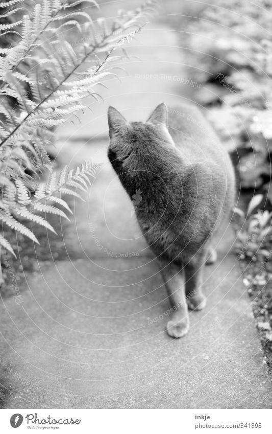 Der Ruf der Nachbarskatze Natur Sommer Pflanze Gras Sträucher Farn Garten Park Wege & Pfade Gartenweg Tier Haustier Katze Hauskatze 1 beobachten Bewegung drehen