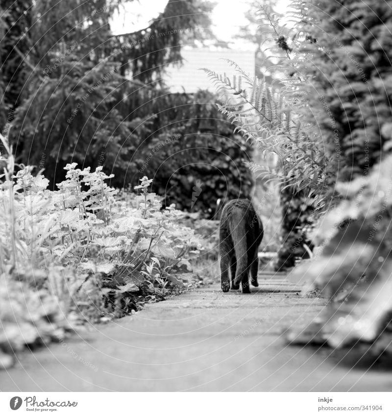 ich bin dann mal weg... Umwelt Natur Sommer Herbst Baum Sträucher Tanne Garten Park Wege & Pfade Gartenweg Tier Haustier Katze Schwanz 1 gehen Gefühle Stimmung