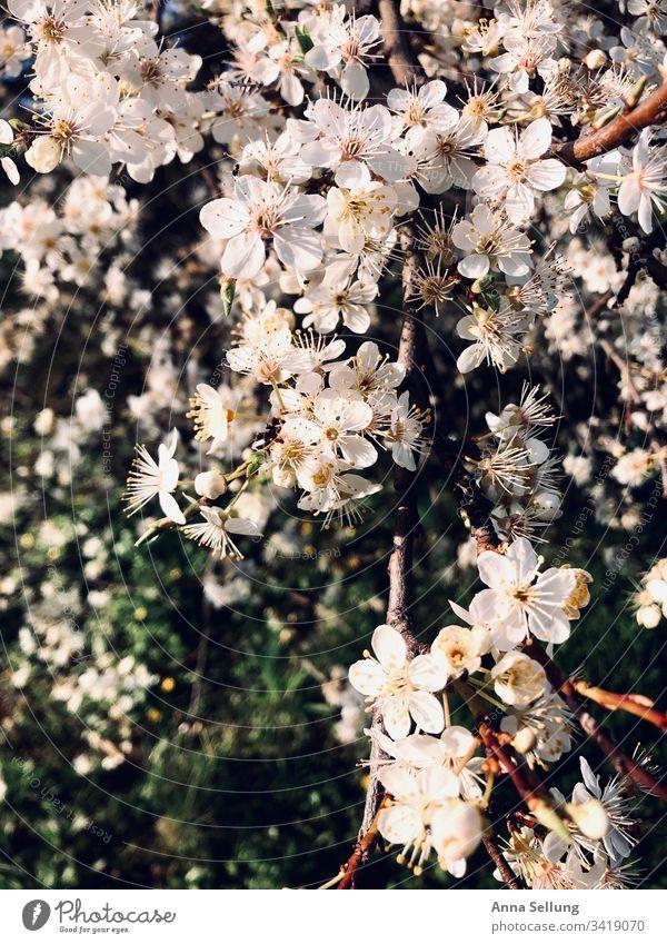 Apfelblüten im schönen Licht Blüte Apfelbaum Blühend Frühling Natur Außenaufnahme weiß grün Tag Menschenleer Baum Wachstum Nahaufnahme Sonnenlicht Duft