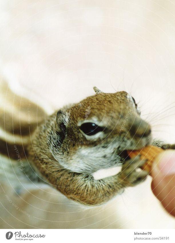 Gib Nüsschen! süß Frieden niedlich sanft frech füttern Nagetiere Erdhörnchen