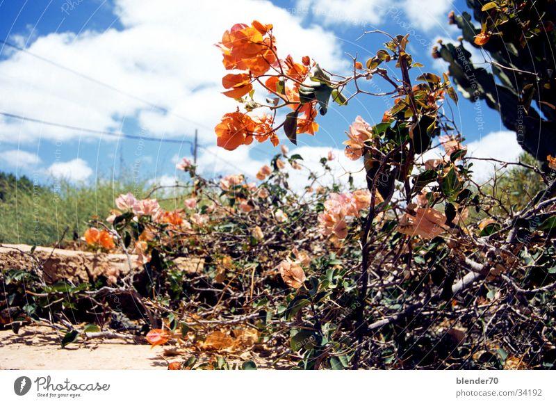 Kanarischer Vorgarten Blume Wolken Sträucher trocken Kaktus Blauer Himmel Fuerteventura Kanaren orange-rot Wüstenpflanze
