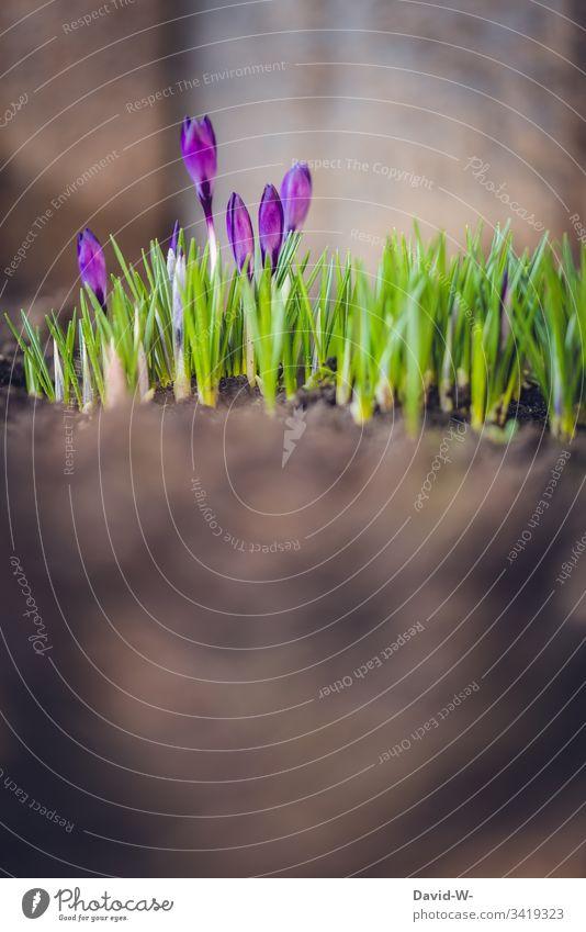 Frühling Krokus im Erdboden kokus Frühlingskrokus Sonnenlicht Textfreiraum unten Ostern Frühlingsblume Frühlingsfarbe Blume lila sanft grün wunderschön