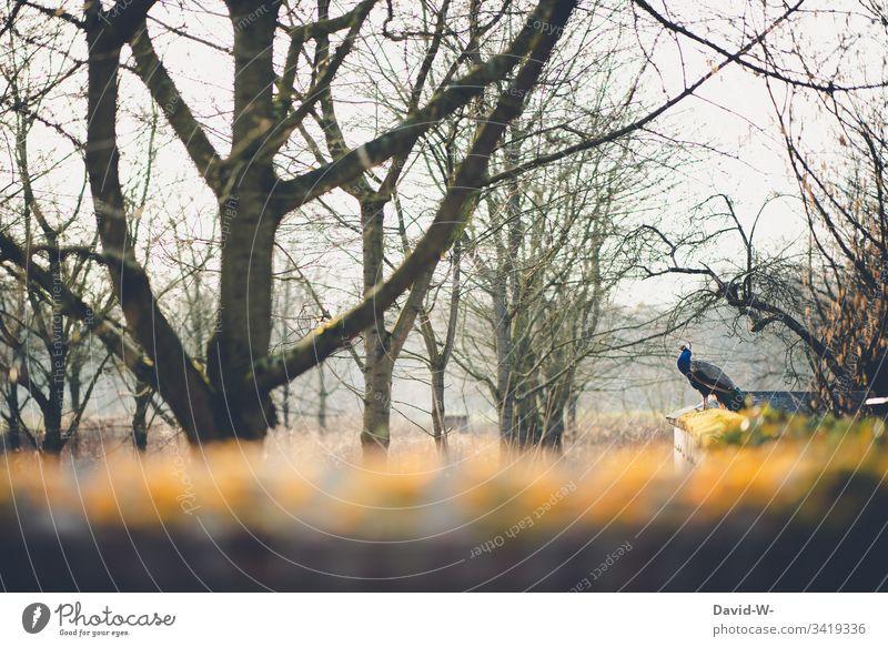 Pfau sitzt draußen auf einer Mauer sitzen ruhe verlassen Tier Vogel einsam alleine beobachten Park Zoo detail Detailaufnahme Bäume melancholie melancholisch