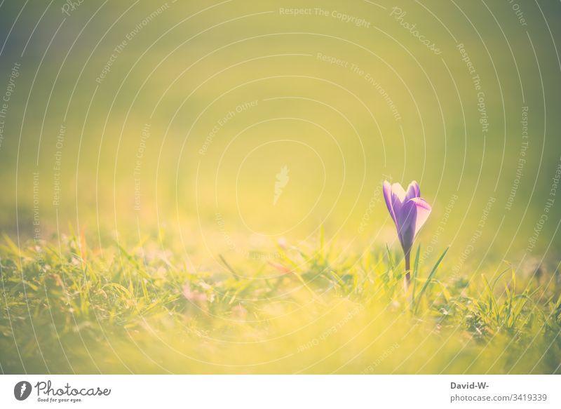 Frühling Krokus im Sonnenschein kokus Frühlingskrokus Sonnenlicht Frühlingsblume Frühlingsfarbe Blume lila sanft grün wunderschöne Landschaft Menschenleer
