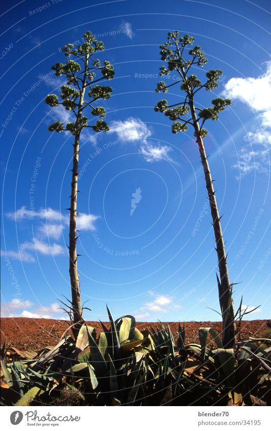 Aloe Vera Paar Blume Pflanze bizarr Wolken Weitwinkel Fuerteventura Froschperspektive Himmel Perspektive