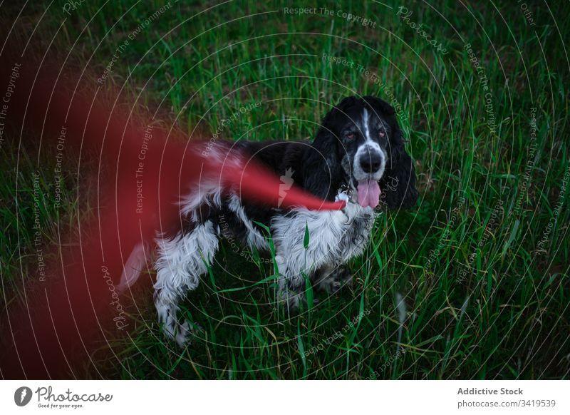 Ruhiger Hund auf grünem Gras auf dem Land Landschaft Natur Tier Eckzahn Haustier Reinrassig Begleiter gehorsam loyal Freund stehen Park Spaniel ausspannen