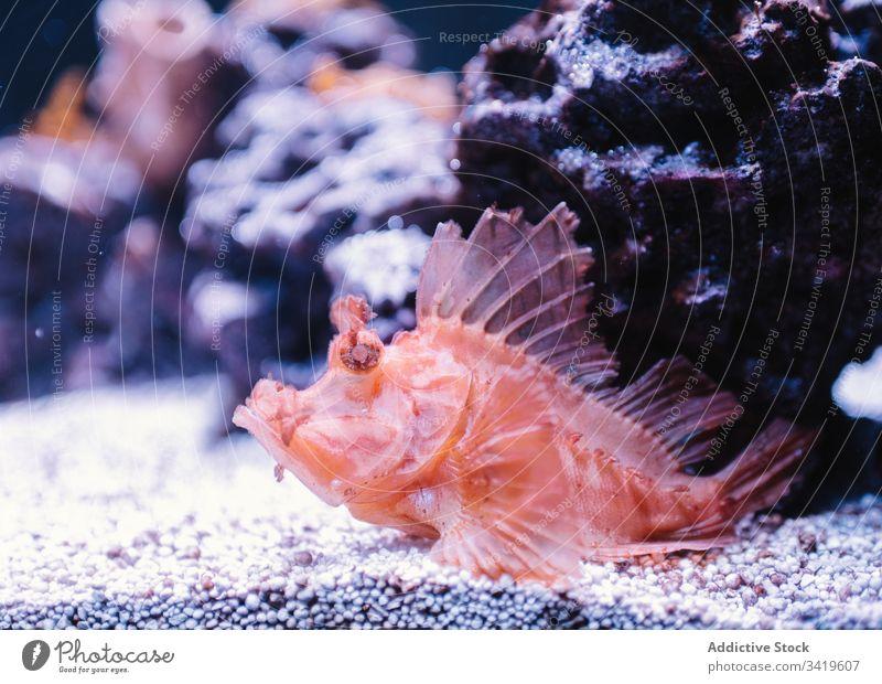 Exotische Skorpionfische im modernen Aquarium rot unter Wasser exotisch tropisch klein winzig Felsen Tier wild schwimmen reffen marin Natur Meer Gesäß Ökosystem