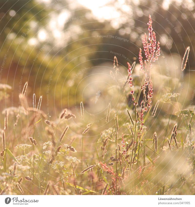 lichtdurchflutet Natur Sonne Sonnenlicht Frühling Blume Gras Sauerampfer Gräserblüte Wiese Feld Blühend leuchten Wachstum Freundlichkeit hell Wärme grün rosa