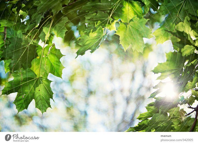 lichtdurchlässig Natur Sonnenlicht Frühling Sommer Schönes Wetter Wärme Baum Blatt Blattgrün Zweige u. Äste Ahornzweig Ahornblatt leuchten Erholung Hoffnung