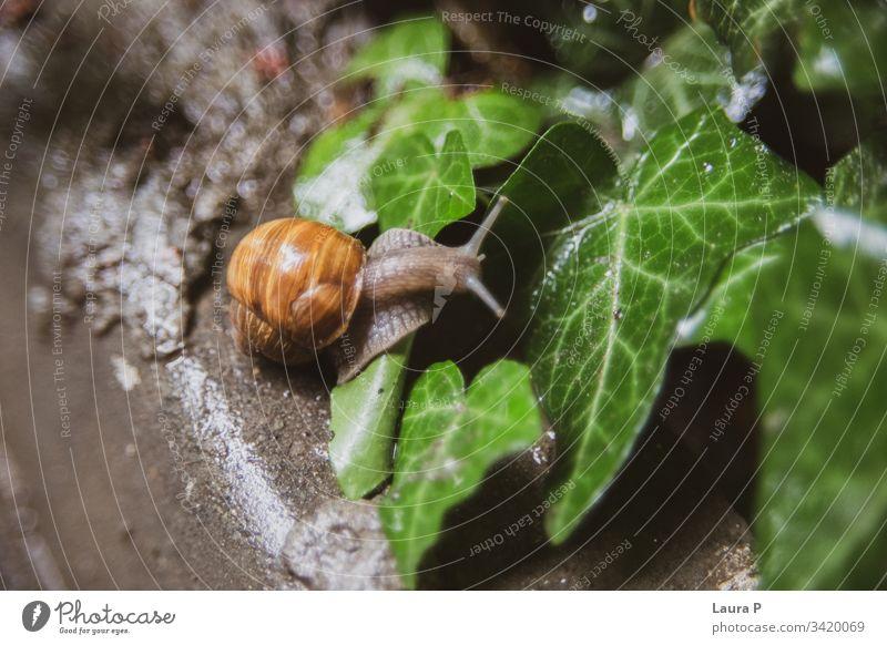 Nahaufnahme einer Schnecke, die auf ein nasses Blatt klettert im Freien exotisch schleimig Panzer Landschnecke klein Tierwelt abschließen braun Regentropfen