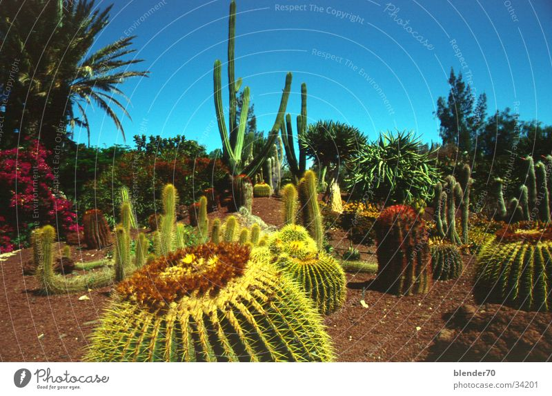 Kakteengarten Urwald Kaktus stachelig gestellt Fuerteventura Kanaren