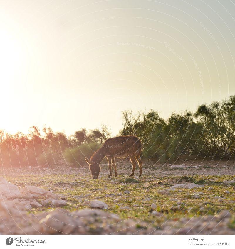 âne Esel eselsbrücke Weide Fressen grasen Sonnenuntergang Gegenlicht Tier Außenaufnahme Wiese Farbfoto Natur Pferd Nutztier Gras Sonnenaufgang Tierporträt Baum