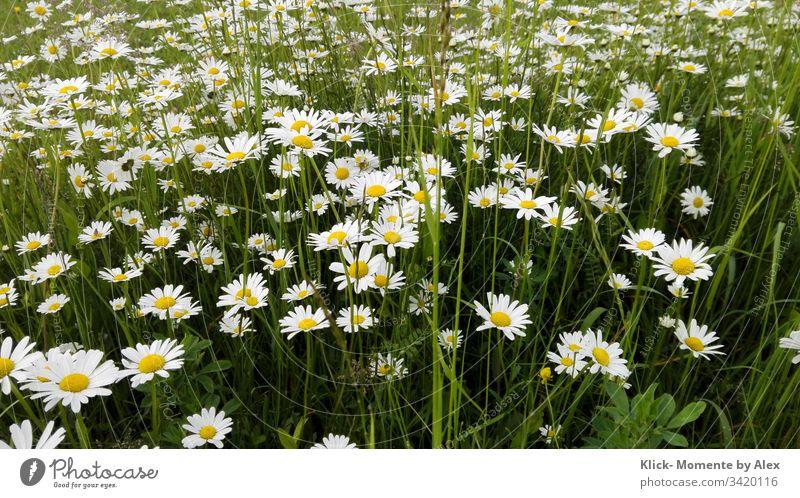 Margeritenfeld blühend Blume Pflanze Wiese Natur Feld grün gelb weiß große Gänseblümchen Garten Zierpflanze Wildblume Korbblütengewächs Frühling Herbst